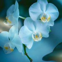 Орхидеи. Три красавицы :: Елена Оберник