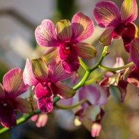 Орхидея дендробиум Са-Нук :: Ирина Приходько