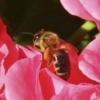 пчелка на розе :: Олег Мартоник