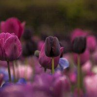 Мокрый снег и тюльпаны...Красота... спасет мир!!! - 2. :: Александр Вивчарик
