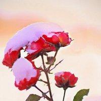 Розы в снегу :: Василек photo