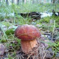 Белый гриб 2 :: оксана