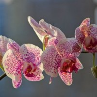 Орхидея доритинопсис Принцесса Весны :: Ирина Приходько