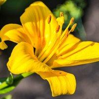 Жёлтая лилия :: Любовь Потеряхина
