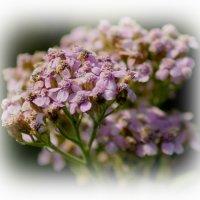 полевые цветы :: victor leinonen