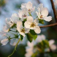 Цветы весны :: Анастасия Иванова