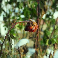 ледяная роза :: Сергей Шуплецов
