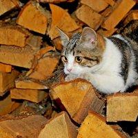Кот деревенский :: Teresa Valaine