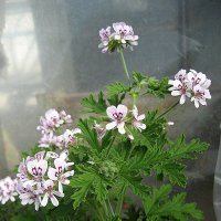 Pelargonium graveolens / Пеларгония душистая :: laana laadas