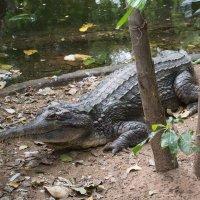 Крокодил :: Илья Шипилов