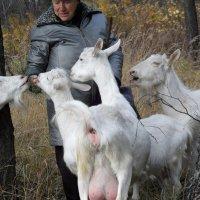 Пусть щедро Коза молоко всем дает! :: Галина