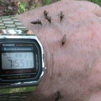 Комары кормятся :: Сергей Гвоздев