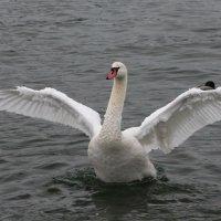 Царевна-Лебедь :: Olga