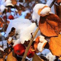 Яблоки все в снегу... :: Галина Стрельченя