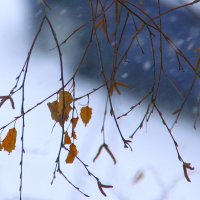 Снег и непокорная  береза.... :: Валерия  Полещикова