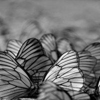 бал бабочек :: Сергей Розанов