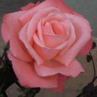 Зимняя роза :: Герович Лилия