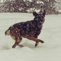 старый пёс и снег :: Ирина Кулагина