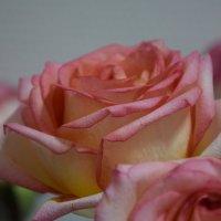 Розы :: Юлия Яворская