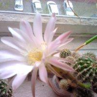 Кактус цветет :: Наталья Шикина