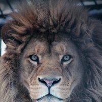 Африканский лев :: Ольга Головина