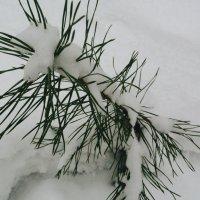 Веточка в снегу :: Леля Курепина