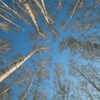 ...там, где березы вонзаются в небо... :: Андрей ЕВСЕЕВ