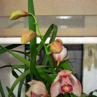 орхидеи к Рождеству :: Александр Корчемный