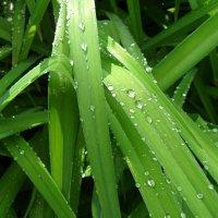 Травка зеленеет,капельки блестят! :: Наталья