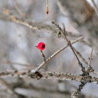 Одинокая ягодка :: ольга каверзникова