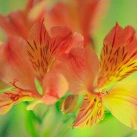 flower :: Кирилл