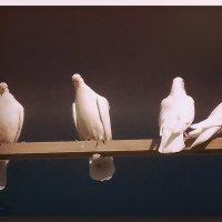 Голуби-птицы мира :: Юрий Владимирович