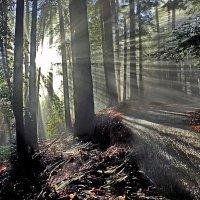 солнечный лес после дождя :: viton