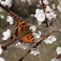 Весна на крыльях бабочки :: nika555nika Ирина