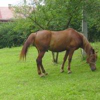 Пасущийся  конь  в  Крылосе  2 :: Андрей  Васильевич Коляскин
