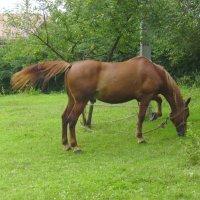 Пасущийся  конь  в  Крылосе  3 :: Андрей  Васильевич Коляскин