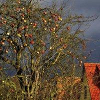...яблоки к Рождеству... :: Ольга Нарышкова