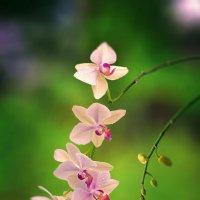 Орхидея :: Александр Афромеев