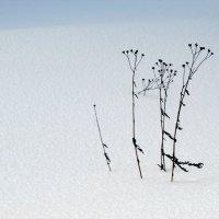 Зимняя ромашка :: Константин Филякин