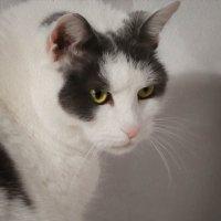 портрет кошки :: Leha F