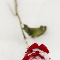 Роза на снегу (07) :: Алексей Волков