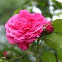 Роза :: Анна Никитина