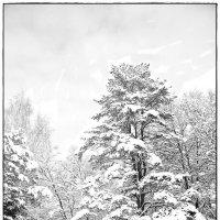 Белые лапы сосны :: Михаил Лобов (drakonmick)