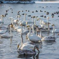 Лебеди :: Sergey Oslopov