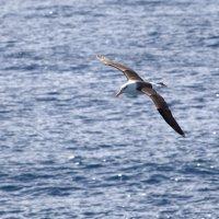 Альбатрос в проливе Дрейка :: Геннадий Мельников
