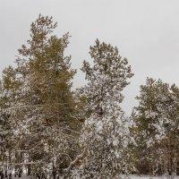 В снегу.. :: Юрий Стародубцев