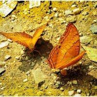 Бабочки :: Ольга Степанова