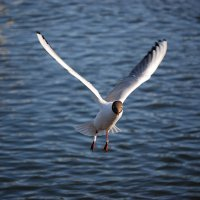 Чайка :: Edward Zhilinsky