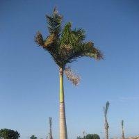 пальма :: Михаил Филатов