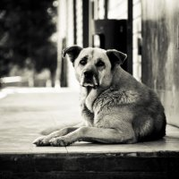 Сторожевая собака :: Dmitriy Predybailo